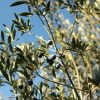 Recollida d'olives arbequines